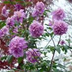 草花の苗 皇帝ダリア 八重咲き ダブルインペリアリス3.5号ポット