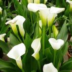 草花の苗/20年3月中下旬予約 カリフォルニアカラー:クリスタルブラッシュ3.5号ポット