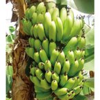果樹の苗/18年4月中旬予約 バナナ:サンジャクバナナ(三尺バナナ)3.5号ポット