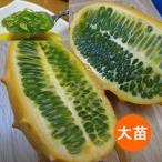 野菜の苗/19年5月中旬予約 キワーノ4号ポット(大苗)