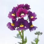 草花の苗/18年2月中旬予約 ネメシア:メロウコスミックブルー3.5号ポット