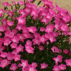 草花の苗/18年3月中旬予約 芳香四季咲きなでしこ:かほり3号ポット12株セット