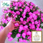 草花の苗 ペチュニア マドンナの宝石 ピンク 3.5号ポット