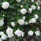 草花の苗 フィエスタ ホワイト3号ポット