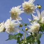 草花の苗 皇帝ダリア 八重咲き ホワイトエンジェル3.5号ポット
