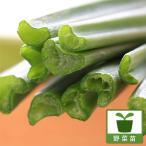 野菜の苗/18年3月中旬予約 ネギニラなかみどり3号ポット