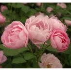 バラの苗/18年5月中旬予約 つるバラ ローブリッター新苗