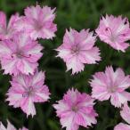 草花の苗/18年3月中旬予約 四季咲きなでしこ:うつろい3号ポット