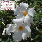 草花の苗 マンデビラ サンパラソルジャイアントホワイト3.5号ポット