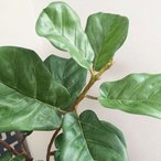 フェイクグリーン カシワバゴムの木 L いなざうるす屋 観葉植物 フェイク グリーン インテリア 雑貨 引越し 一人暮らし お洒落 おしゃれ