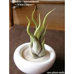 エアープランツ チランジア カプトメドゥーサ ホワイトイリプス エアプランツ 種類 ギフト 観葉植物 多肉植物 ミニ インテリア 容器 人気 北欧