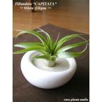 エアープランツ チランジア カピタータ ホワイトイリプス エアプランツ 種類 ギフト 観葉植物 多肉植物 ミニ インテリア 容器 人気 北欧