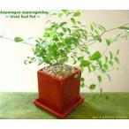 アスパラガス・スマイラックス/観葉植物/ヴィヴィッド レッドポット/インテリア