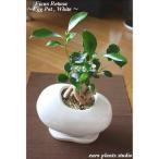 送料無料 ガジュマル 観葉植物 インテリア 鉢植え 陶器 ガジュマルの木 北欧 お祝い ホワイトエッグ