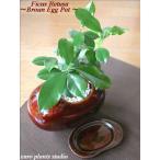 送料無料 ガジュマル 観葉植物 インテリア 鉢植え 陶器 ガジュマルの木 北欧 お祝い ブラウンエッグ