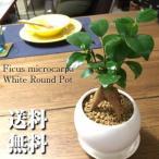 送料無料 ガジュマル 観葉植物 インテリア 鉢植え 陶器 ガジュマルの木 多幸の木 風水 北欧 お祝い ホワイトサークル