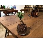 ガジュマル 観葉植物 ハイドロカルチャー インテリア モダンラウンドグラス