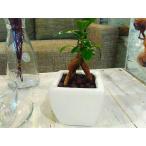 送料無料 ガジュマル ハイドロカルチャー おしゃれ 観葉植物 風水 インテリア ガジュマルの木 多幸の木 北欧 ホワイトスクエア ガジュマル (植物工房eps)