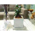 送料無料 ガジュマル 観葉植物 インテリア 鉢植え 陶器 ガジュマルの木 北欧 お祝い ブラウンエッグ キューブポット