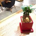 ガジュマル 観葉植物 鉢植え ガジュマルの木 ヴィヴィッドレッドポット