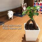 送料無料 ガジュマル ハイドロカルチャー おしゃれ 観葉植物 風水 インテリア ガジュマルの木 多幸の木 北欧 ホワイトスクエアポット ハイドロ (植物工房eps)