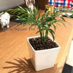 料無料 テーブルヤシ 観葉植物 ハイドロカルチャー 日陰 インテリア ポトス 風水 北欧 お祝い ホワイトスクエアポット