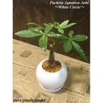 送料無料 パキラ 観葉植物 鉢植え インテリア 北欧 陶器 風水 お祝い ホワイトサークルポット