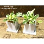 送料無料 ポトス エンジョイ 観葉植物 鉢植え インテリア ポトス 風水 北欧 お祝い ホワイトキューブ・Lサイズ 2セット