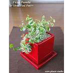 フィカスプミラ/観葉植物/ヴィヴィッドレッドポット/インテリア