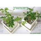 シュガーバイン/観葉植物/鉢植え/陶器/キューブ 白 お得2セット