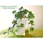 シュガーバイン/観葉植物/ホワイト トール 陶器鉢/インテリア