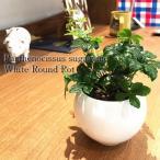 シュガーバイン/観葉植物/ホワイト ラウンド/ハイドロカルチャー/インテリア