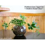 送料無料 シュガーバイン 観葉植物 ハイドロカルチャー インテリア シュガーパイン 風水 北欧 お祝い モダンラウンドグラス
