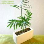 テーブルヤシ ハイドロカルチャー 観葉植物 ホワイトワイドポット インテリア
