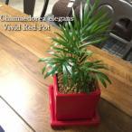 テーブルヤシ 観葉植物 鉢植え インテリア ヴィヴィッドレッドポット
