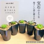 Yahoo!ERIOQUEST【セット販売】ハオルチア5種類セット(トランシエンス オブツーサ 暗黒竜 青玉簾 トルツオサ)Haworthia 寄せ植え お得