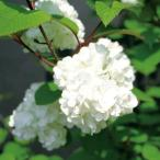 オオデマリ(大手鞠 テマリバナ)白花 植木 庭木 花木 苗木 落葉低木