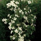 ヤマボウシ(山法師)・ホンコンエンシス 常緑 紅葉 食用可 果実 シンボルツリー 記念樹 植木 庭木 苗木 花木