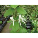 緑のカーテン ツル性植物 スイカズラ 吸い葛(大株)白・黄色花 香りよし 落葉 つる性 木本