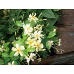 緑のカーテン ツル性植物 テイカカズラ(定家葛) (大株) 星型花 スタージャスミン 香りよし つる性常緑低木