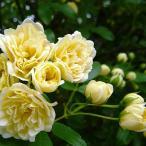 緑のカーテン ツル性植物 モッコウバラ 木香薔薇(黄)(大株) トゲなし 常緑つる性低木