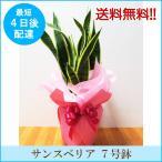 観葉植物「サンスベリア 7号鉢」 送料無料 開店・開業お祝い お中元 夏のギフト