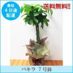 観葉植物「パキラ 7号鉢」 送料無料 開店・開業お祝い お中元 夏のギフト