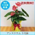 観葉植物「アンスリウム 5号鉢」 送料無料 開店・開業お祝い お中元 夏のギフト