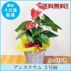 観葉植物「アンスリウム(赤・ピンク) 5号鉢 カゴ付き」 送料無料 開店・開業お祝い お中元 夏のギフト