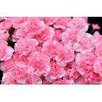 カーネーション 10本 家で楽しむ家花見 ラッピングなし ご自宅用 インドア花見
