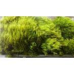フデゴケパック(140×220)光沢のある緑色した天然物の苔