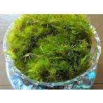 【苔テラリウム  フデゴケ】天然の苔を使っています