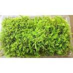 【シノブゴケパック 140×220】常緑性の天然物の苔
