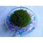 苔 苔盆栽 タマゴケテラリウム 円形ガラス容器入り